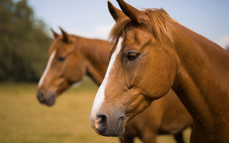 How to Breed Horses Easily